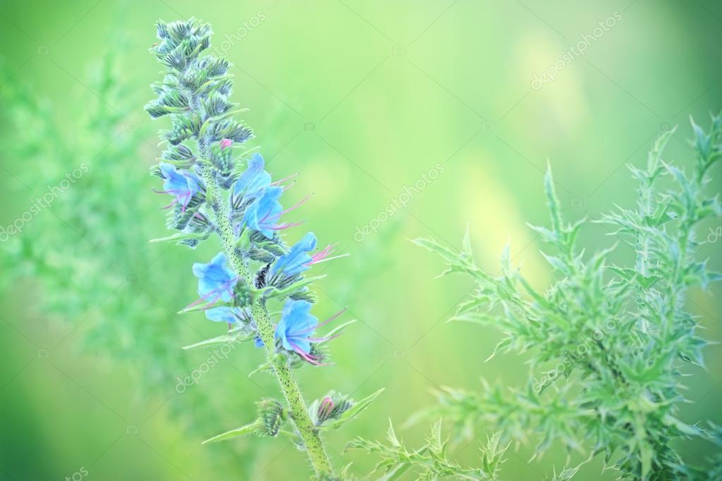 Blue flowers of burdock - bur