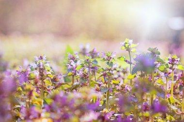 Flowering purple meadow flowers in spring