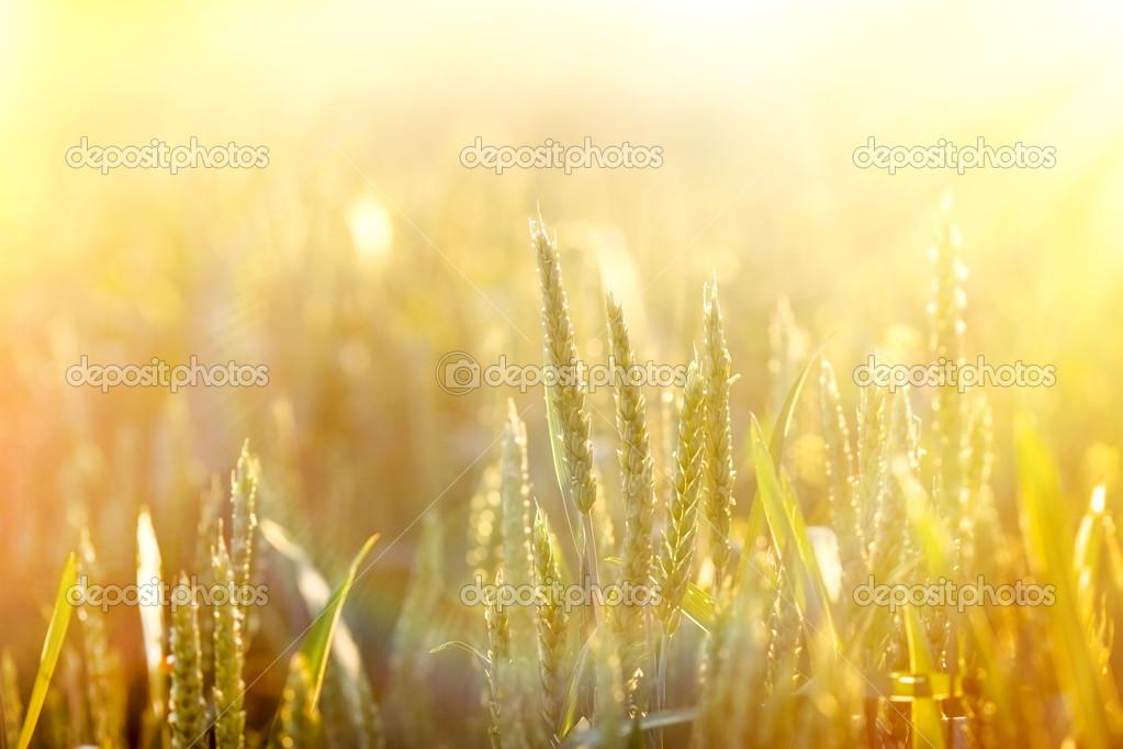 mooie tarweveld die worden verlicht door het zonlicht — Stockfoto ...