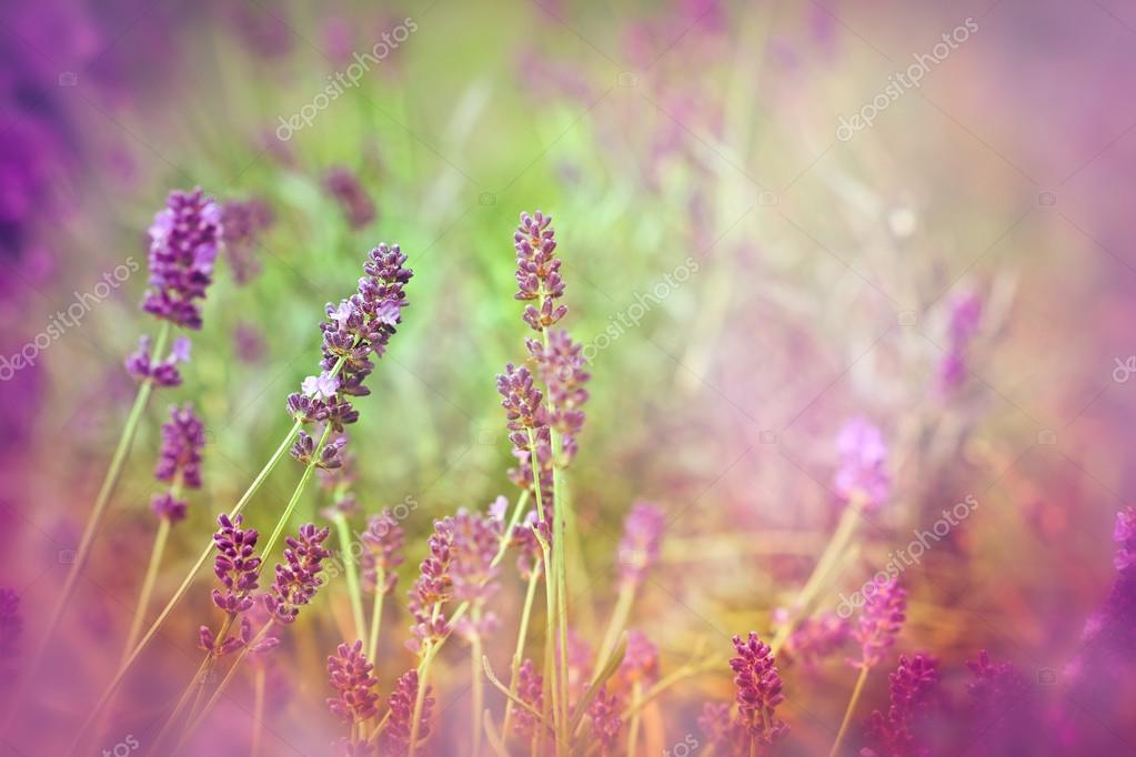 Soft focus on beautiful lavender - lit by sunbeams