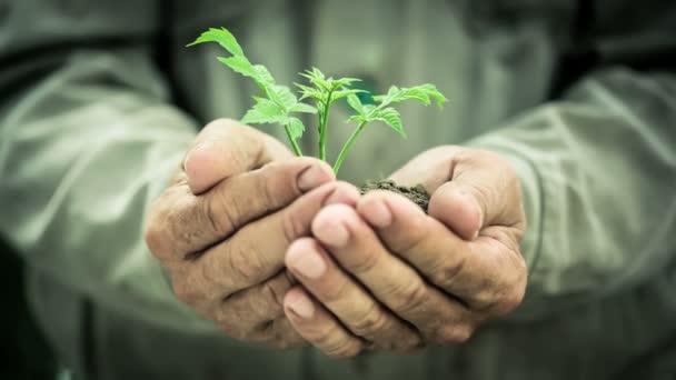 staré mans ruce držící zelených mladých rostlin. Ekologie koncept