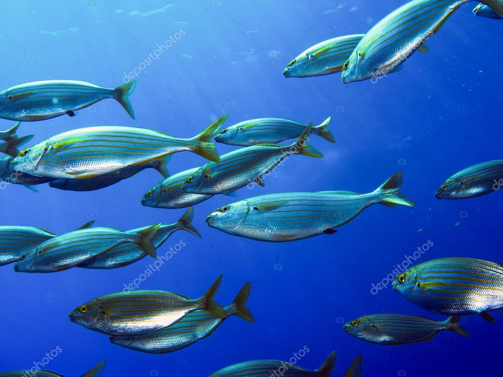 School of fish salema