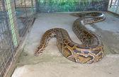 Fotografia python tigre