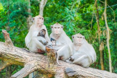 Family of macaque monkeys