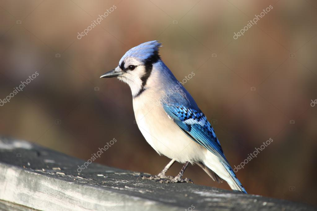 Blue Jay Vogel Stockfoto Snehitdesign 16042495