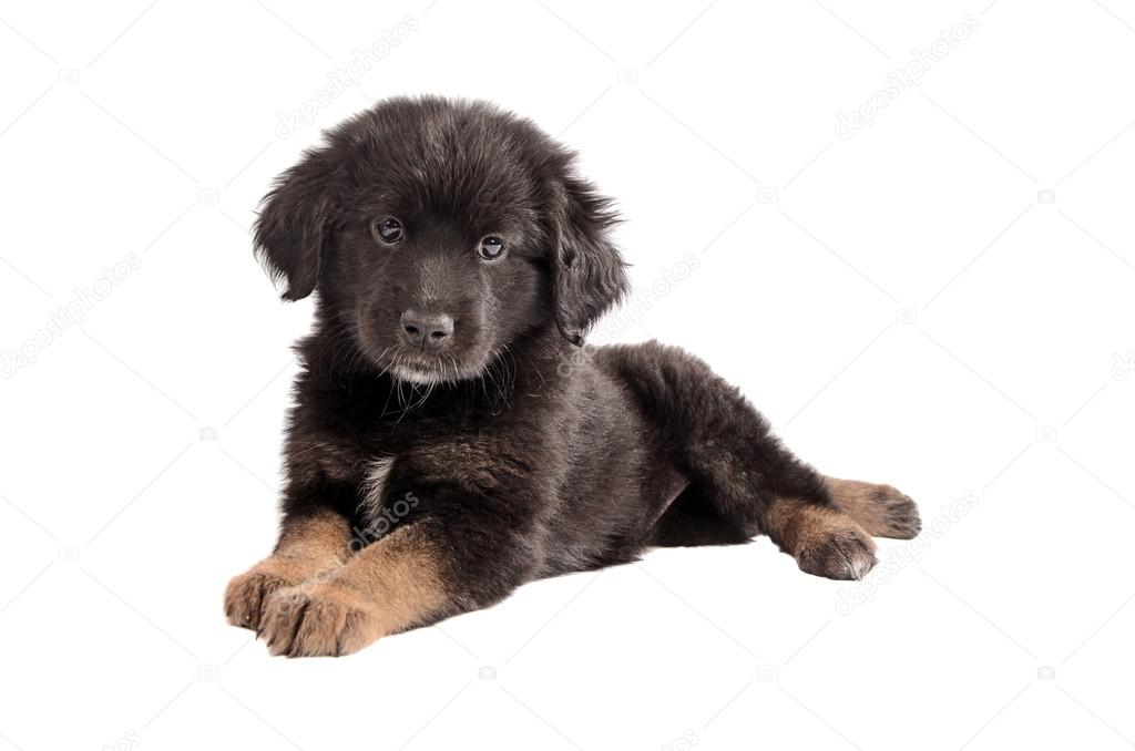 Top Fluffy Brown Adorable Dog - depositphotos_43702969-stock-photo-adorable-black-and-brown-fluffy  Graphic_795100  .jpg