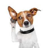 Hund hört mit großem Ohr zu