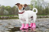 pes v dešti