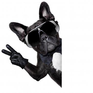 Cool french bulldog