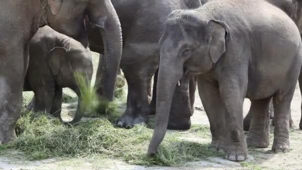 Large herd of Asian Elephants (Elephas maximus)