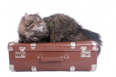 Persian cat lying on vintage suitcase