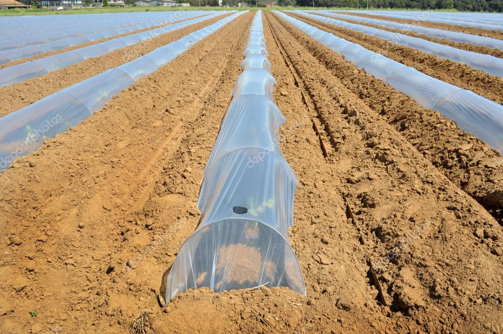 Field of vegetable crops in rows covered with polythene cloches protection