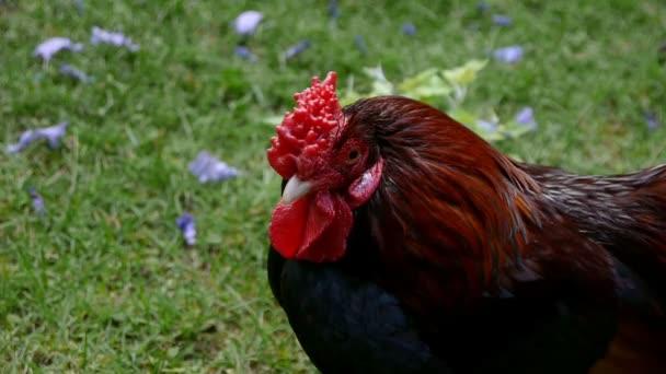 kuře se dívá na kameru