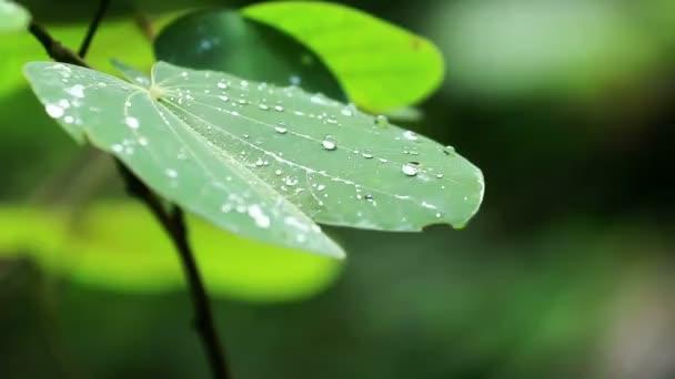 緑の葉に露の滴kapka Rosy na zelený list