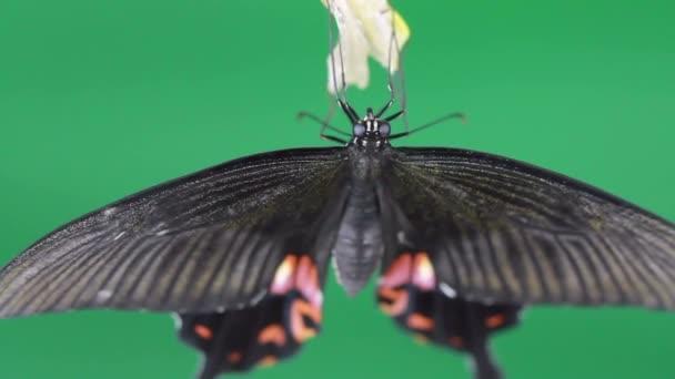 HD uzavřít motýl z kokonu na zelené