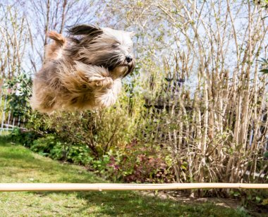 Flying Tibetan Terrier Dog