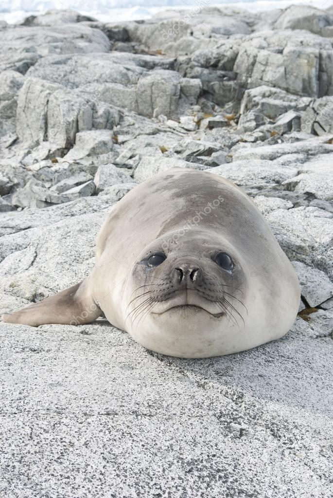 Young southern elephant seal on the rocks.