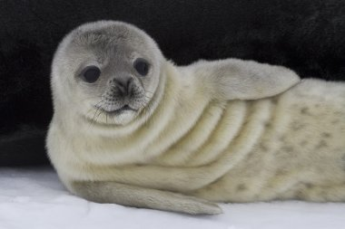 recently born pup Weddell seal 1