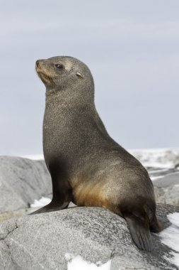young fur seal sitting on the rocks