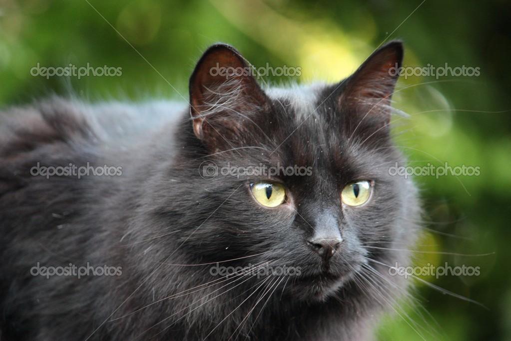 beau chat noir poil long photographie chrisga 28555433. Black Bedroom Furniture Sets. Home Design Ideas