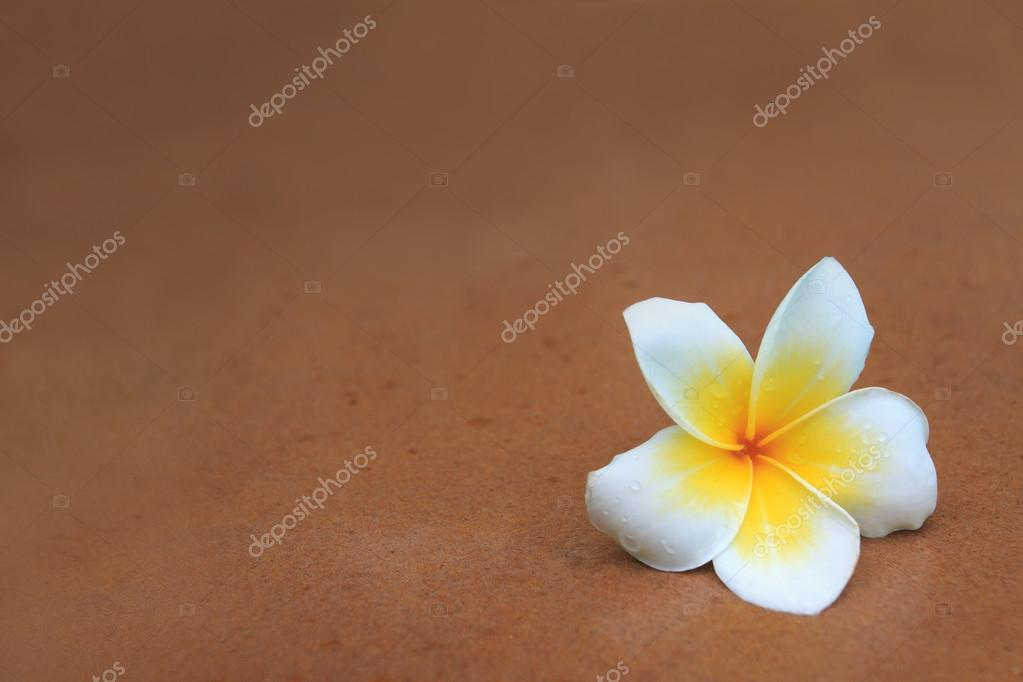 White and yellow frangipani flowers on brown sand stone with fresh dew water
