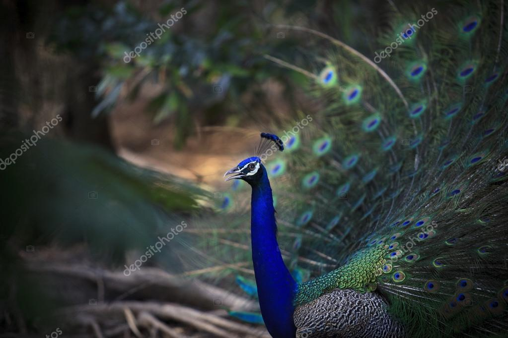 natural shot of indian peacock with beautiful tail plumage