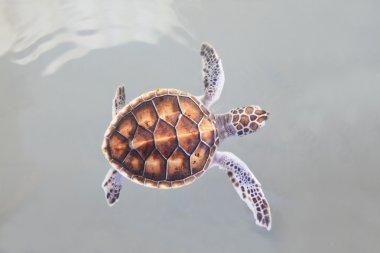 little sea turtle swimming in sea water