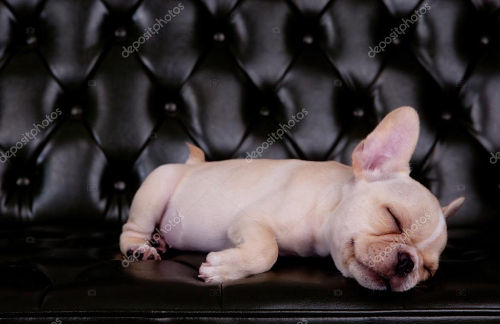 French bull dog asleeping on black sofa desk