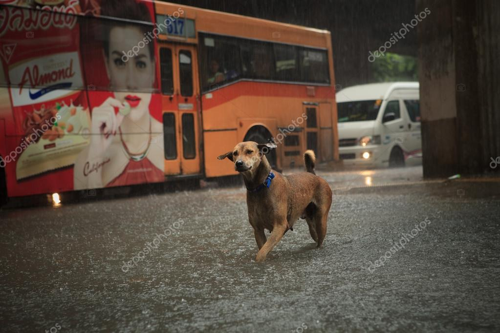 BANGKOK THAILAND - SEP14 : steet dog crossing sudden flood afte