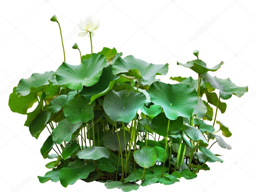 Green leaves of lotus tree in pond isolated on white background