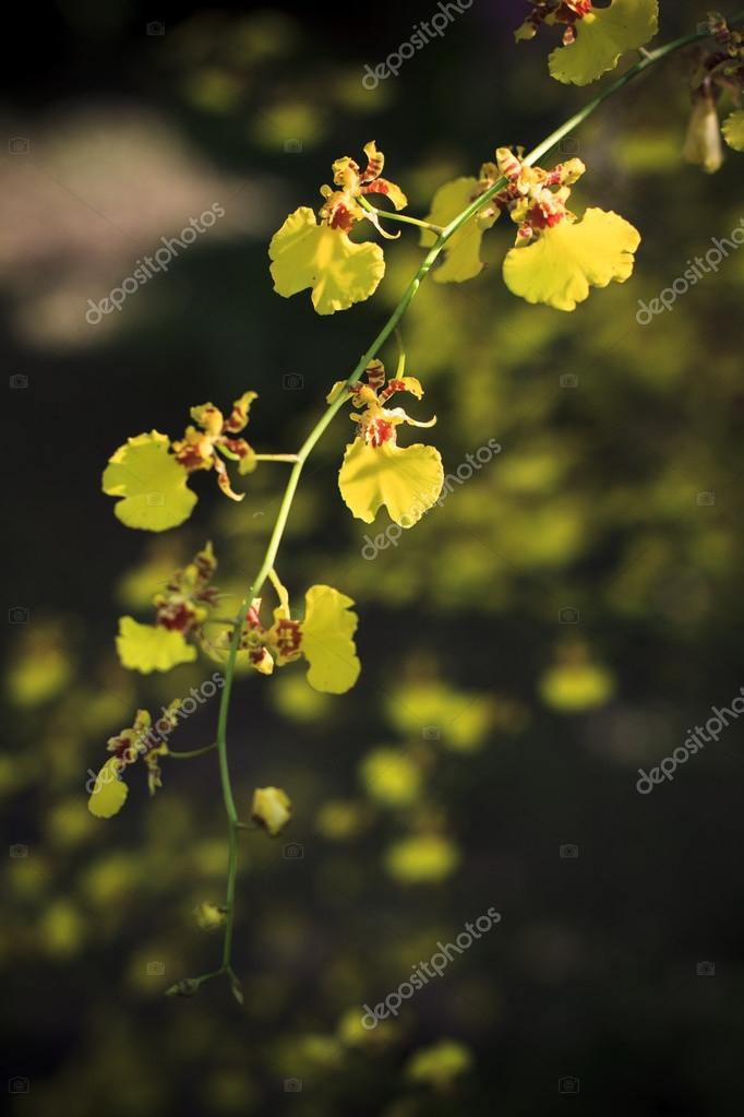 Branch of yellow tropical orchid flower in wild nature with blur background use for background or backdrop natural theme