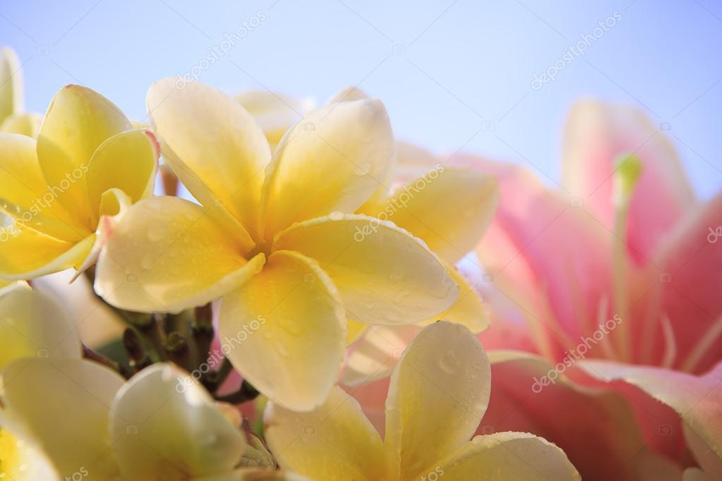 Close up of white yellow frangipani flower petal with pink lilly