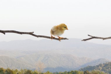 New born chick standing on dry tree branch and try to jumping to