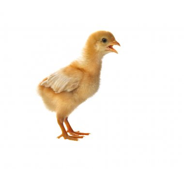 portrait of young baby chick standing and open mouth for calling