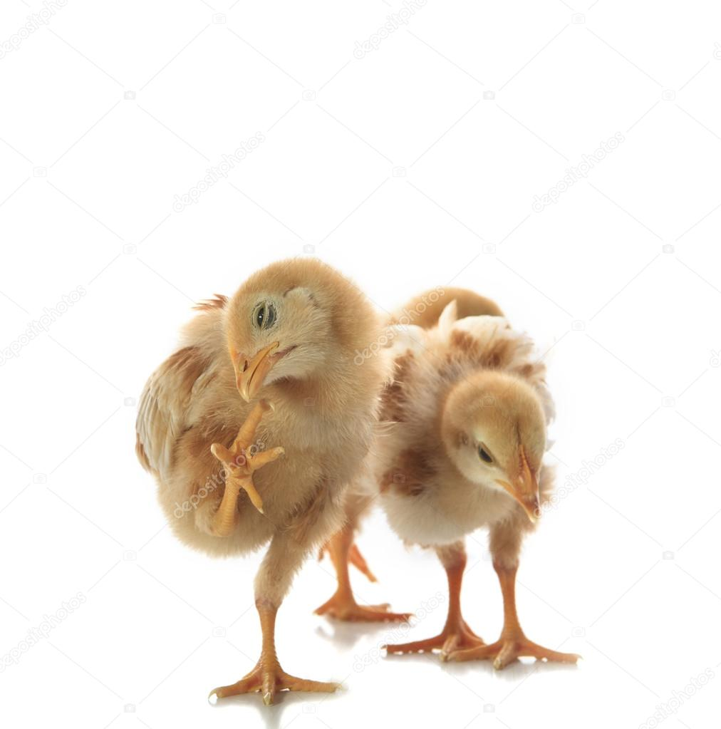 little yellow kid chick standing on white background with variet