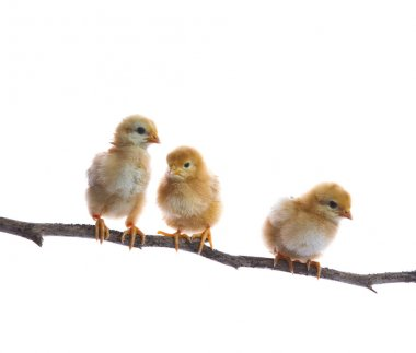 three of new born chick on dry tree branch  isolated white backg
