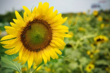 close up front of sun flowers blooming in green field use for mu