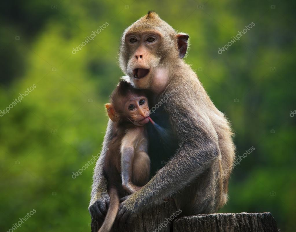 Monkey mother and baby drinking milk from breast and playing nipple