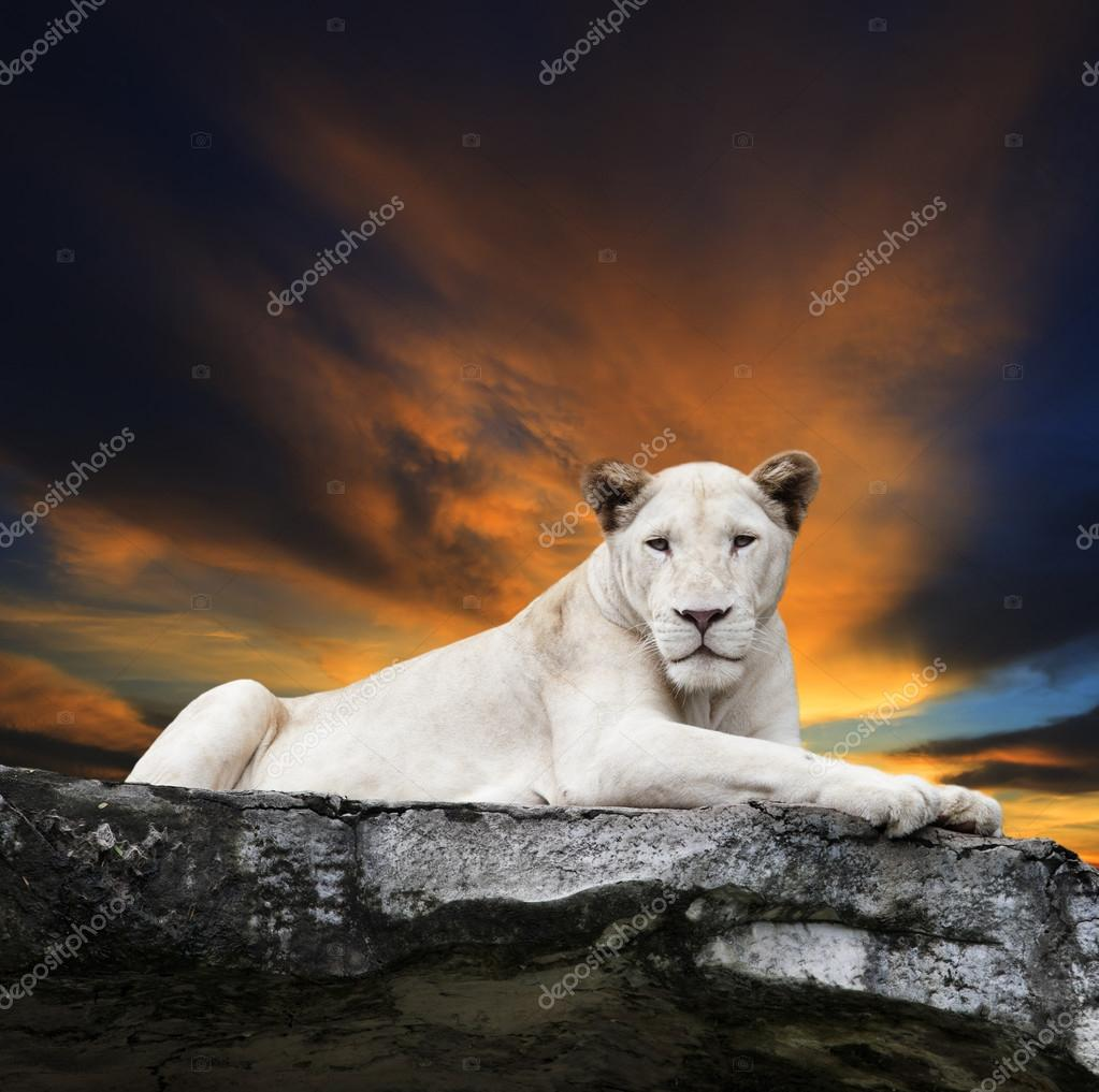 Close up face of white lioness lying on rock cliff against beaut