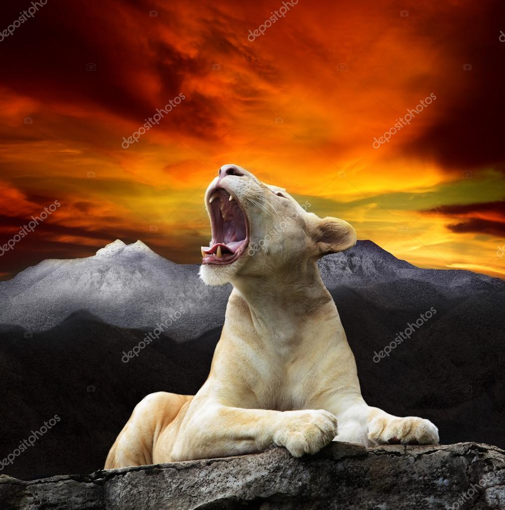 Young white lion,lioness lying and roar on mountain cliff against beautiful dusky sky use for king of wild ,wilderness ,leader in wild topic