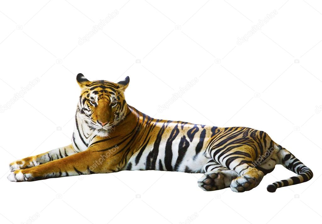 Isolated white background of indochinese tiger face lying with r