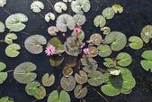Fotografia fiore di loto rosa fiore o Ninfea fiorisce sul laghetto