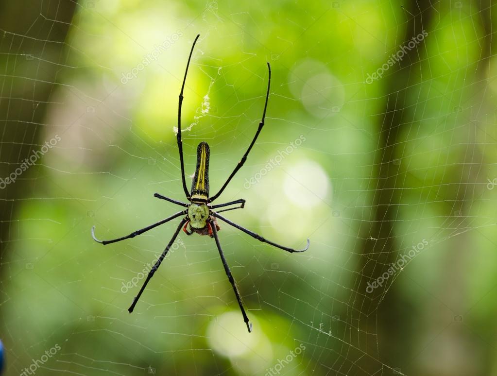 The Giant wood spider (Nephila maculata, nephila pilipes)