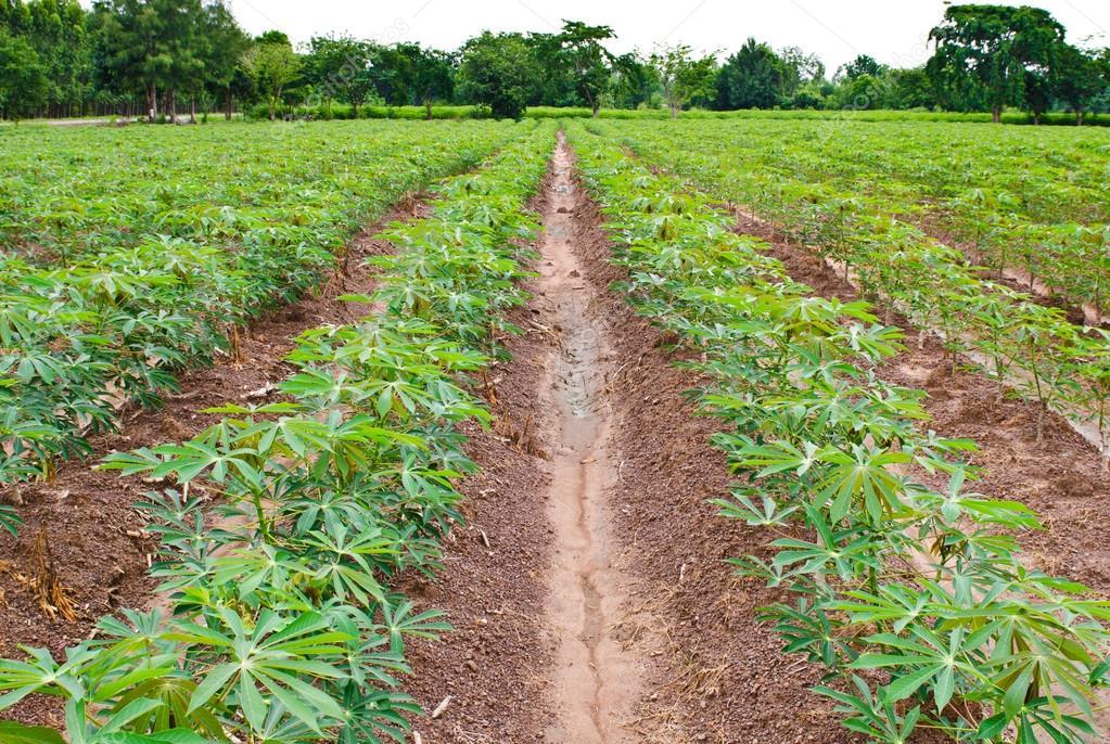 Campo de la planta de yuca o mandioca fotos de stock for Yuca planta de exterior
