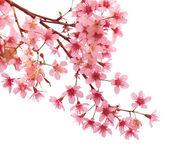Fotografie sakura Pink třešňový květ
