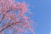 Photo Pink cherry blossom sakura