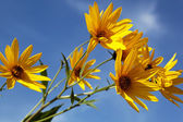 a topinambur sárga virágok (daisy család) kék ég ellen