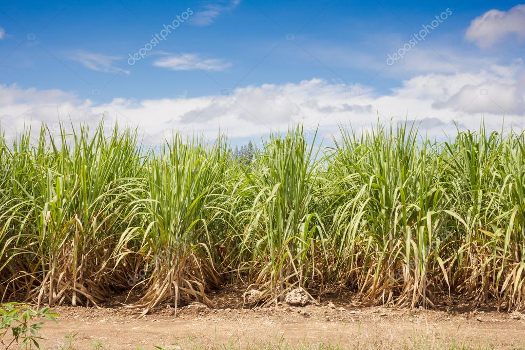 Sugarcane field and blue sky