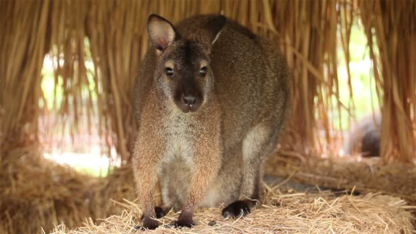 Kangaroo or Wallaby stand on pile of straw