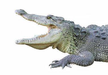 a crocodile with open jaws